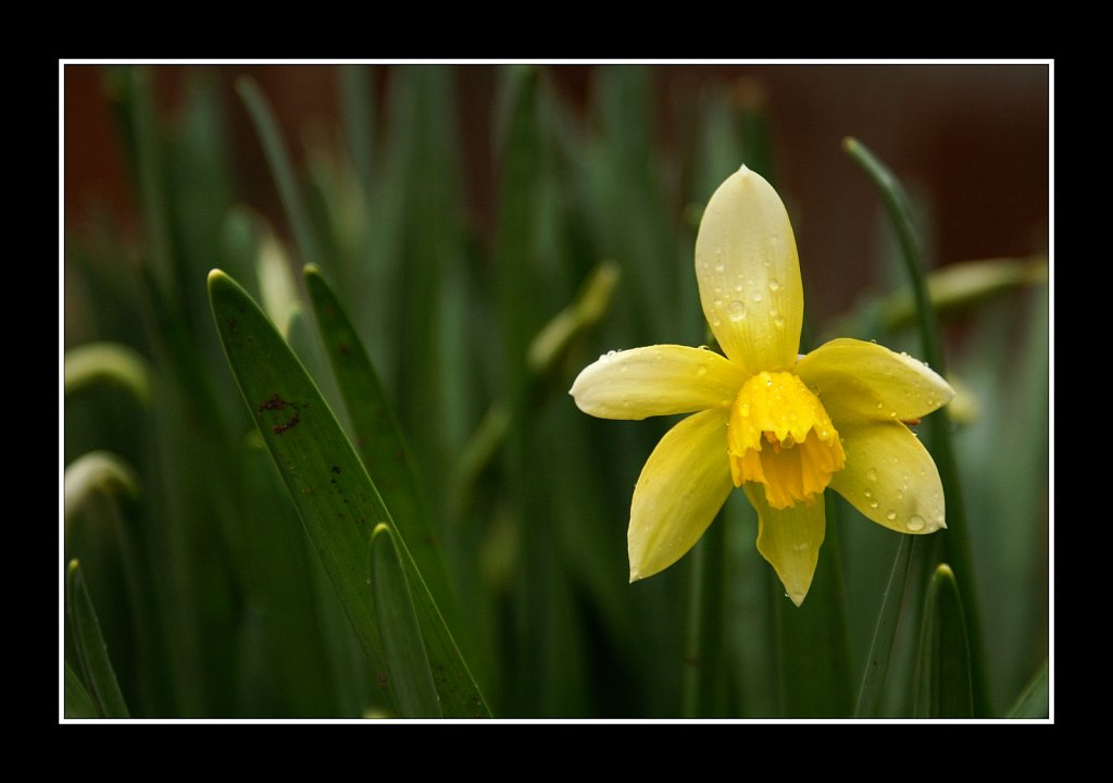 Daffodil In the Rain