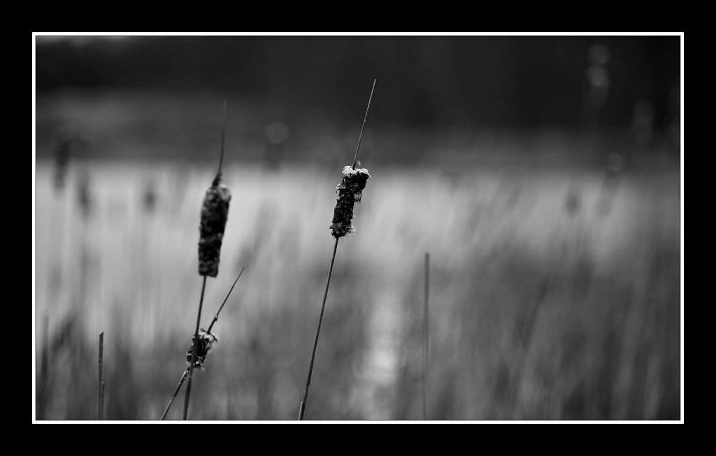 Cattails (Typha)