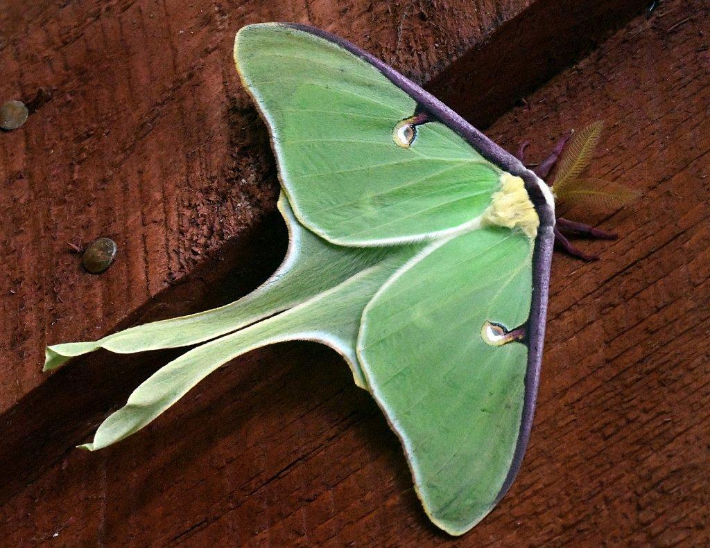 Luna-Moth-4344.JPG