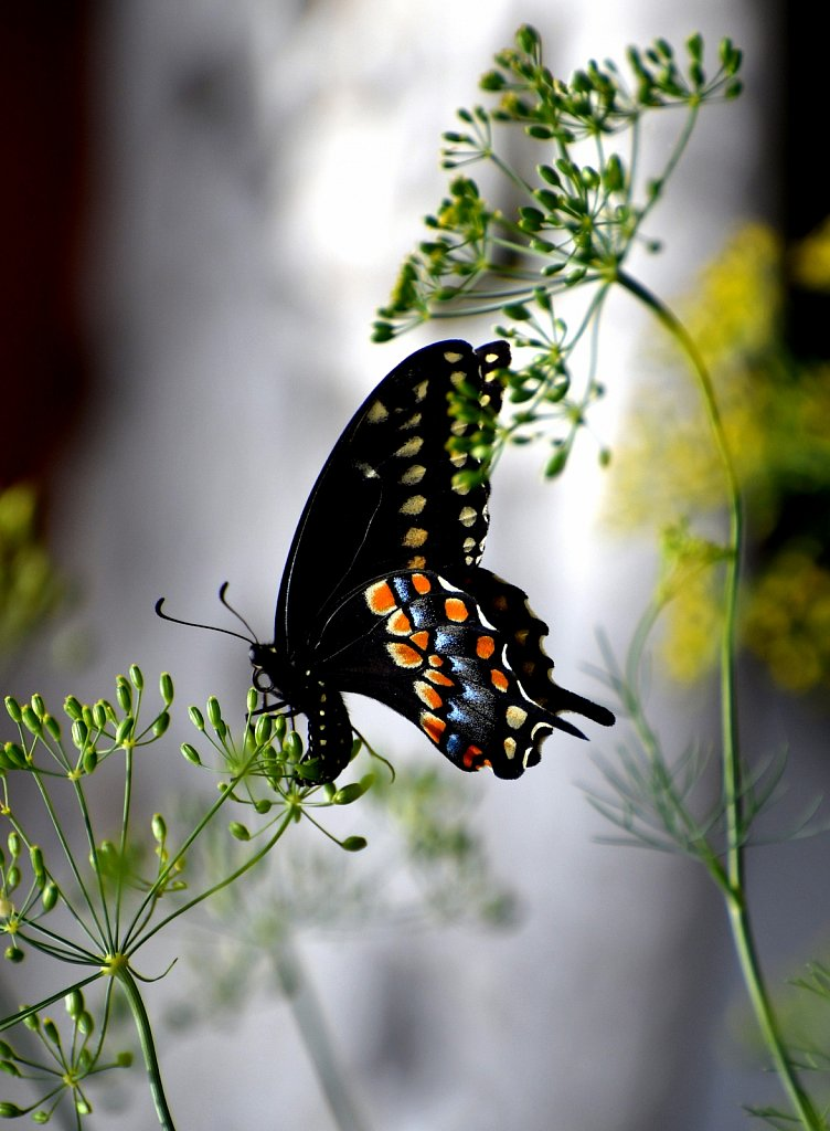 Eastern Black Swallowtail
