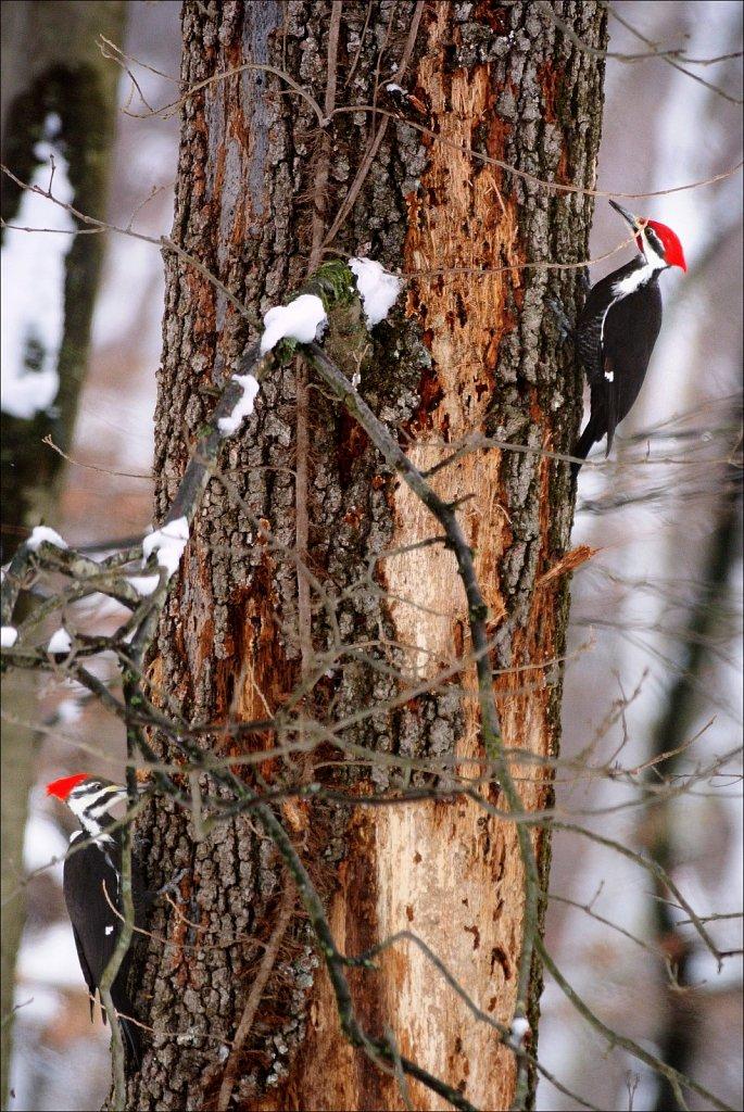 Pileated Woodpecker (Female & Male)